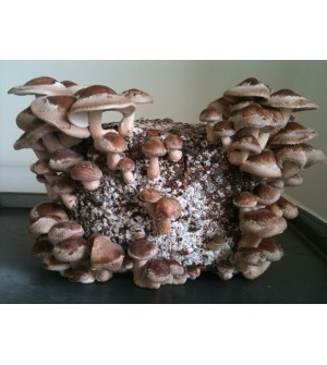 Mushroom Kit  Shiitake Grow BagAustralian Made!! - FREE Shipping -Low stock - may be a few week wait